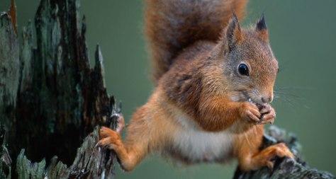 Um esquilo vermelho! O Esquilo batendo uma noz em um galho de árvore no condado Nord-Trondelag na Noruega!