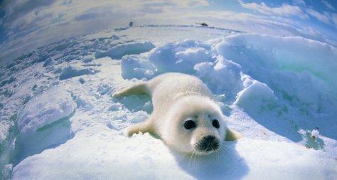 Uma pequena foca no gelo. ♥