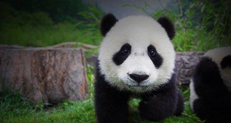 Um bebê panda! Cuidado com esse ataque de fofura gente! ♥