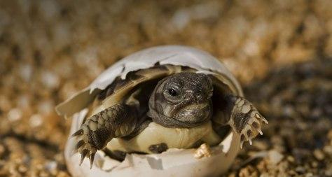 Uma tartaruga nascendo, não é lindo? ♥