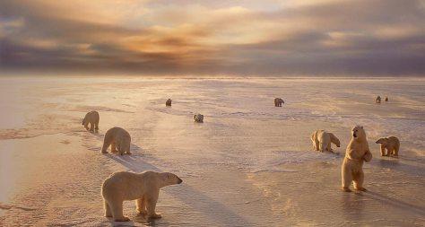 Ursos Poláres em Churchil, Manitoba, Canada