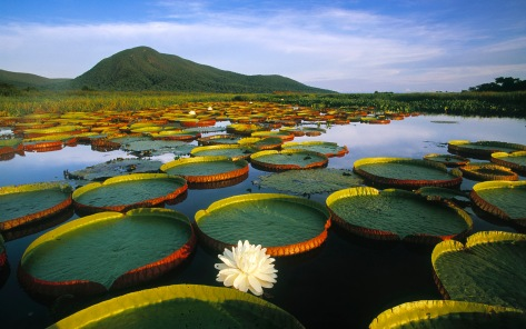Victoria Regia Water Lily and Lily Pads